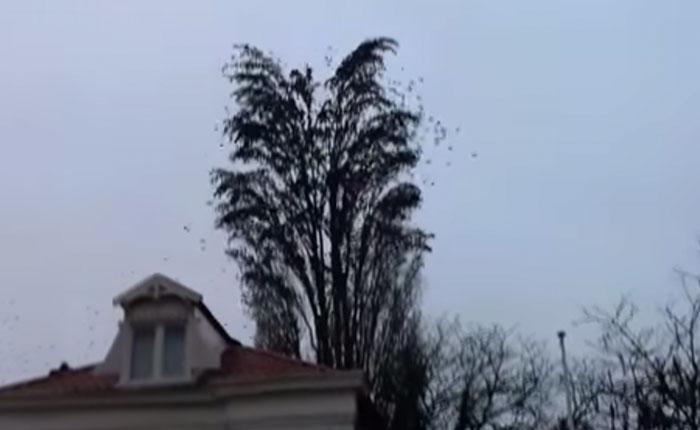 Sorprendente explosión de pájaros desde un árbol (Video)