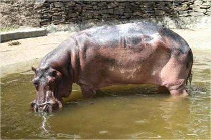 hipopotamo1.jpg