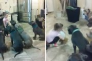 Niña de 4 años alimenta y controla a seis pitbulls (Video)